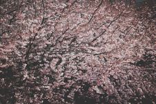 Free Photo Of Cherry Blossoms Royalty Free Stock Image - 115913906