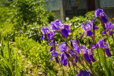Purple Iris Flowers Royalty Free Stock Photography