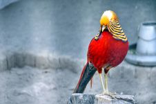 Free Red And Brown Bird Standing On Grey Wood Stump Royalty Free Stock Photo - 115976855