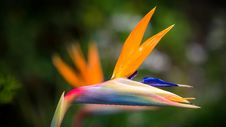 Free Closeup Photography Of Bird Of Paradise Flower Royalty Free Stock Photography - 115976877