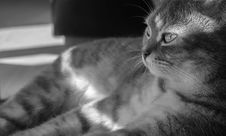 Free Grayscale Photo Of Gray Cat Royalty Free Stock Photos - 115976958