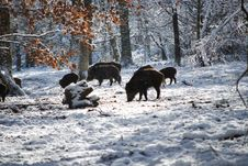 Free Boars On Snow Near Trees Stock Images - 115977024