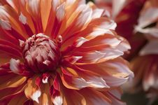 Free Photo Of Red And White Flower Royalty Free Stock Images - 115977079