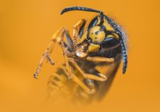 Free Close-up Photo Of Yellow Jacket Wasp Stock Photo - 115977090