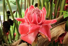 Free Red Torch Ginger Flower Royalty Free Stock Images - 115977129