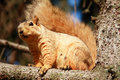 Free Squirrel In Pine Tree Royalty Free Stock Photo - 1160045