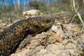 Free Stumpy Tail Lizard Closeup Stock Photo - 1161230