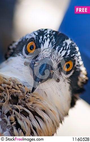 Osprey (Pandion haliaetus) Focus on Beak Stock Photo