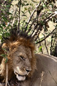 Free Sleeping Lion Stock Images - 1160504