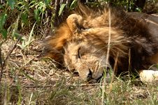 Free Sleeping Lion Stock Photography - 1160522
