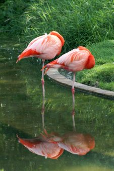 Free Sleeping Flamingoes Royalty Free Stock Image - 1160866