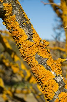 Free Lichen Royalty Free Stock Images - 1161369