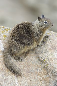 California Ground Squirrel Royalty Free Stock Photos