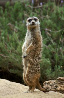 Free Meerkat Standing At Attention Stock Photography - 1161552