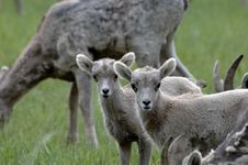 Mountain Sheep Lambs Stock Photo