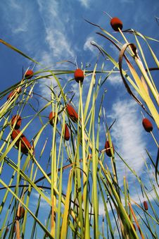 Free Bulrush_2 Royalty Free Stock Photos - 1162008