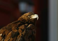 Portrait Of An Eagle Royalty Free Stock Photography