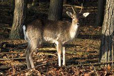 Free Proud Bambi Royalty Free Stock Images - 1164229