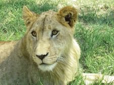 Free Lioness In The Sun Royalty Free Stock Image - 1164626