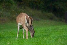 Free Deers Stock Images - 1166374