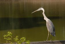 Free Blue Heron Stock Photos - 1166433