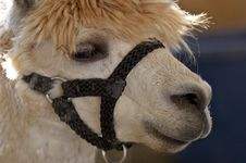 Free The Llama Stock Photos - 1166493