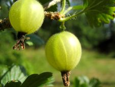 Free Green Gooseberry Royalty Free Stock Photography - 1166867