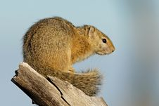 Free Tree Squirrel Royalty Free Stock Photo - 1167565