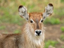 Free Waterbuck Portrait Royalty Free Stock Photos - 1167568
