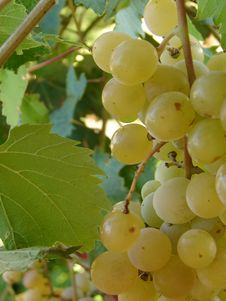 Free Grape Stock Image - 1167591