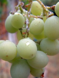 Free Green Grape Royalty Free Stock Image - 1167686