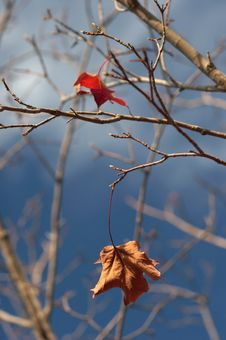 Free Last Leaves Royalty Free Stock Images - 1167819