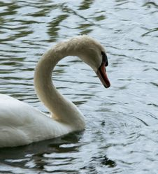 Free Swan Stock Photography - 1168152