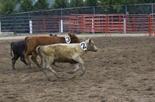 Running Calves At Rodeo Some Motion Blur Stock Image