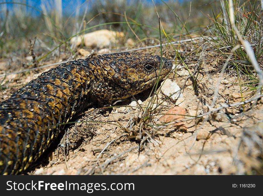 Stumpy Tail Lizard Closeup