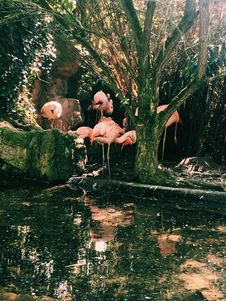 Free Photo Of Flock Of Pink Flamingo Royalty Free Stock Photos - 116049818