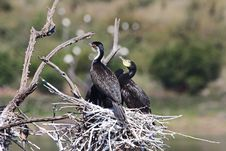 Free Selective Focus Photography Of Three Cormorants Perched On Nest Stock Photo - 116049840