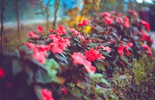 Free Selective Focus Photography Of Red Impatiens Flowers Stock Image - 116049931