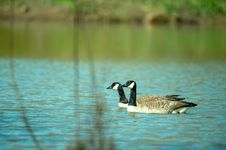 Free Close-Up Photography Of Two Ducks On Water Royalty Free Stock Photography - 116050097