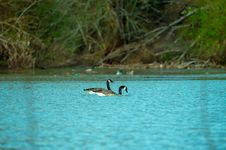 Free Photography Of Two Ducks On Water Stock Photo - 116050150