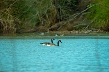 Free Photography Of Two Ducks On Water Stock Image - 116050151