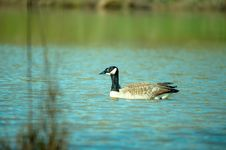 Free Photography Of Goose On Water Stock Photos - 116050173