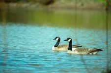 Free Photography Of Two Ducks On Water Royalty Free Stock Photos - 116050188