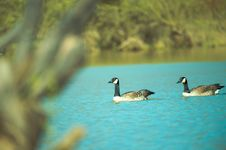 Free Photography Of Two Ducks On Water Stock Image - 116050221