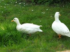 Free Bird, Water Bird, Duck, Ducks Geese And Swans Stock Photos - 116069083