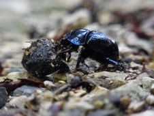 Free Insect, Dung Beetle, Beetle, Invertebrate Royalty Free Stock Image - 116069146
