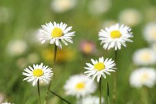 Free Flower, Chamaemelum Nobile, Daisy Family, Daisy Stock Photos - 116069223