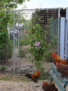 Free Chicken, Bird, Galliformes, Fauna Royalty Free Stock Photo - 116069455
