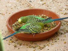 Free Common Pet Parakeet, Bird, Parakeet, Fauna Stock Images - 116069804