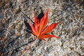 Free Japanese Maple Leaf Stock Photo - 11613860